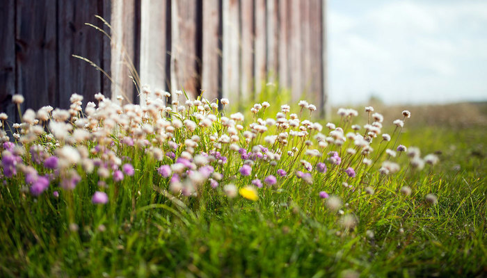Clover against a fence