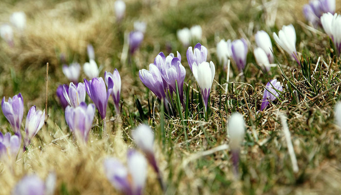 Purple and White crocuses