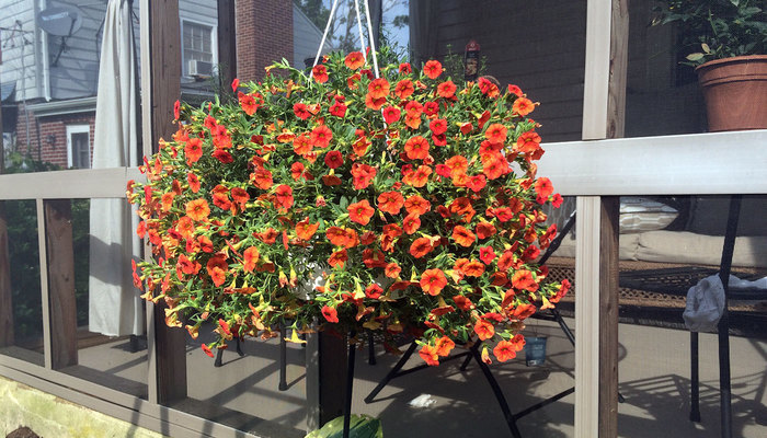 Orange calibrachoa in a hanging basket