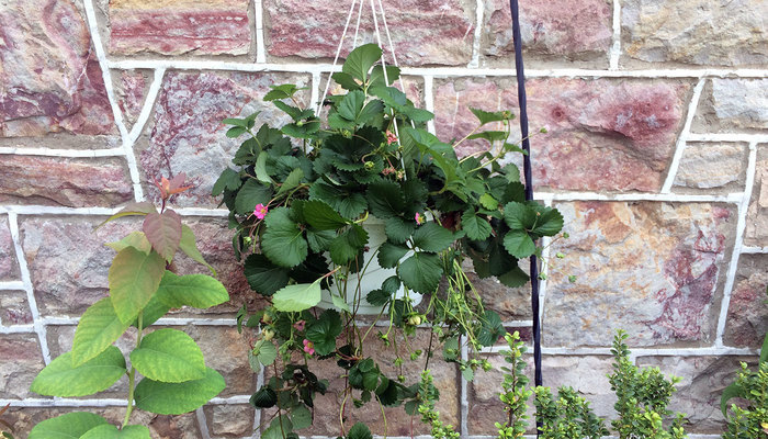 Strawberry plant in a hanging basket