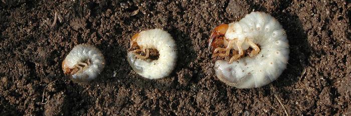 Remove and kill larva when you see it