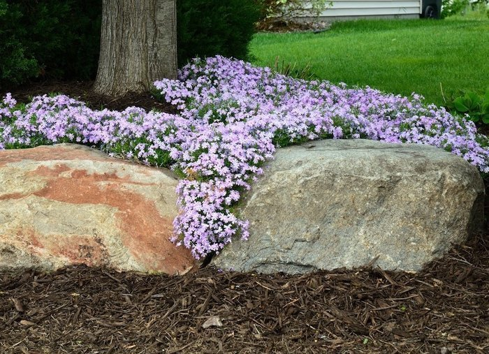 Creeping Phlox - 2020 Backyard Trends
