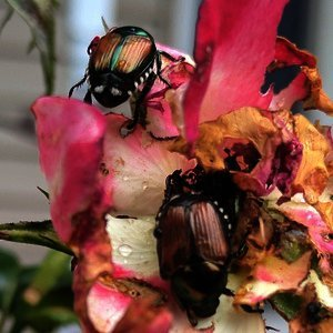 Image for Defending Your Plants From Japanese Beetles