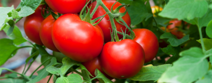 Homegrown Tomatoes - 2020 Backyard Trends